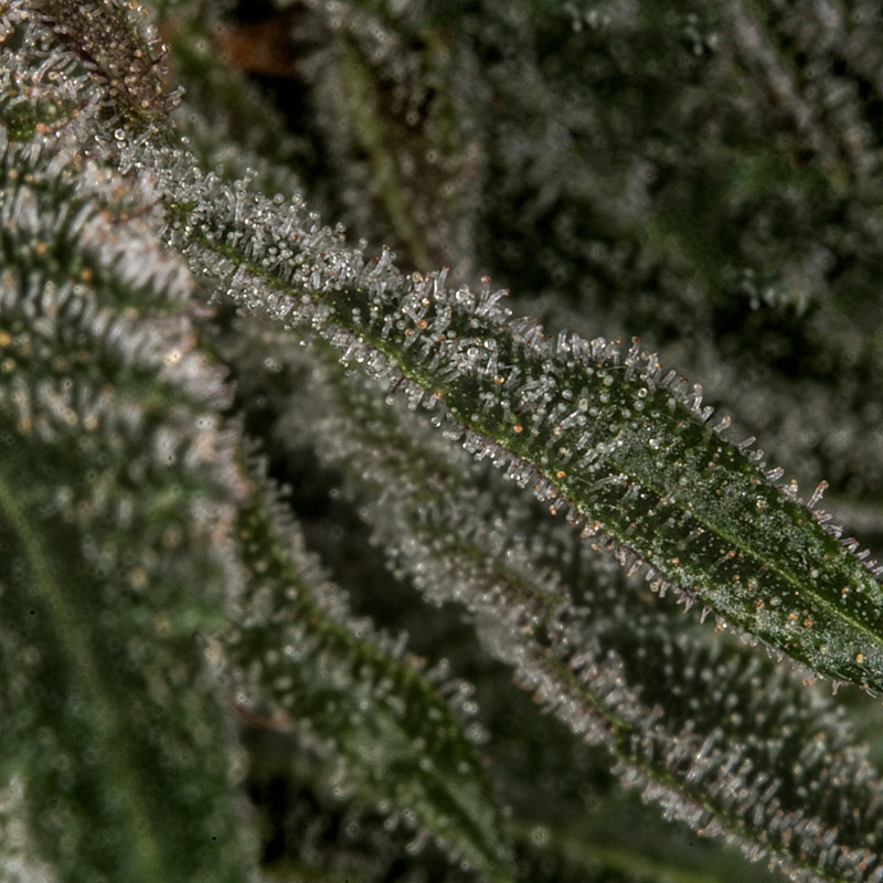 triangle live plant lots of trichomes macro photography